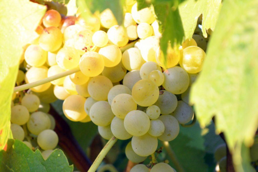 Grappolo d'uva bianca varietà Lucido