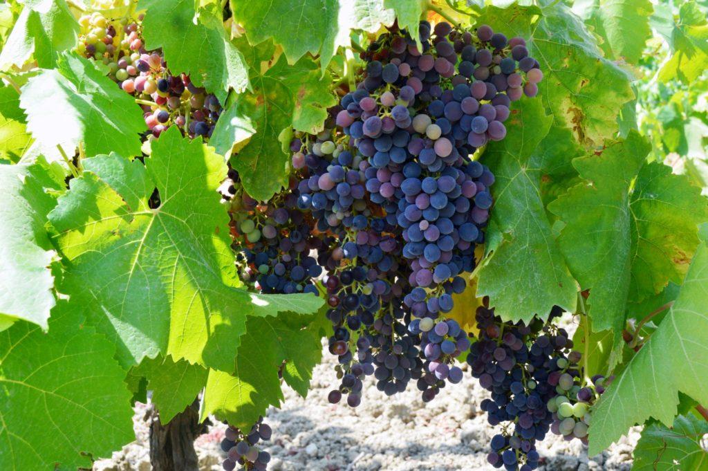 Grappolo di uva varietà Nero D'Avola